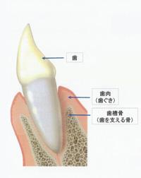 汐留シティセンター歯科 歯周病治療 健康な歯茎の状態
